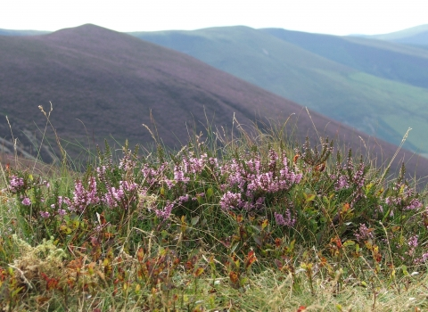 Flowering heather at Glaslyn Nature Reserve copyright Montgomeryshire Wildlife Trust/Tammy Stretton