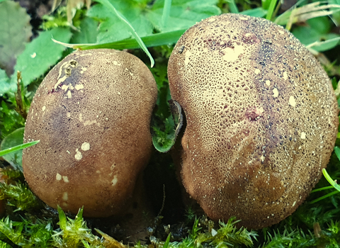 Common Earthball Scleroderma citrinum copyright Tamasine Stretton