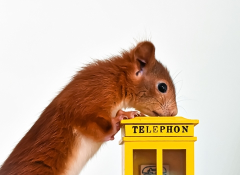 Red Squirrel looking down on a little yellow telephone booth; image by Alexas_Fotos from Pixabay