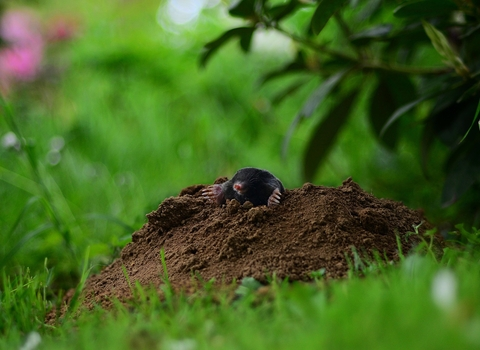 Mole emerging from molehill; Image by Ralf Siebeck from Pixabay