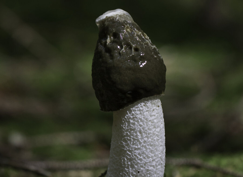 Stinkhorn Phallus impudicus copyright Chris Lawrence