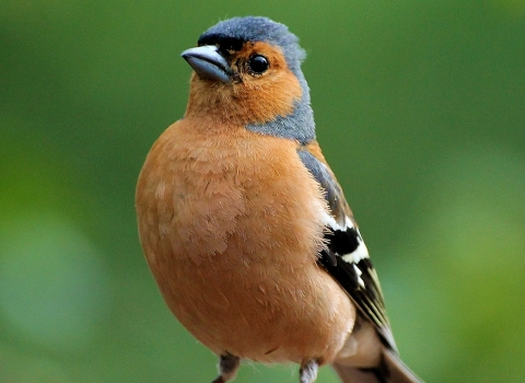 Chaffinch copyright Andy Jones