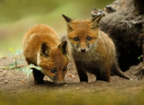 Fox cubs copyright Surrey Hills Photography
