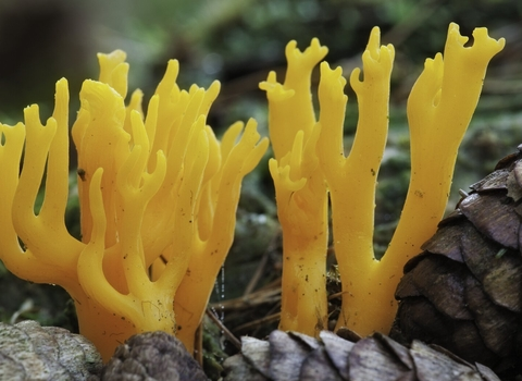 Yellow Stagshorn fungus Calocera viscosa copyright Guy Edwardes/2020VISION