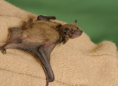 young pipistrelle bat copyright Terry Whittaker/2020VISION